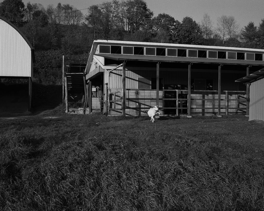 2017年10月 北海道北見市 牛舎の前のヤギ