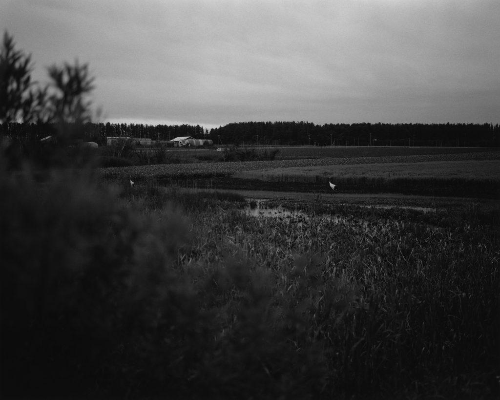 2017年7月 北海道網走郡小清水町 畑を歩くタンチョウ